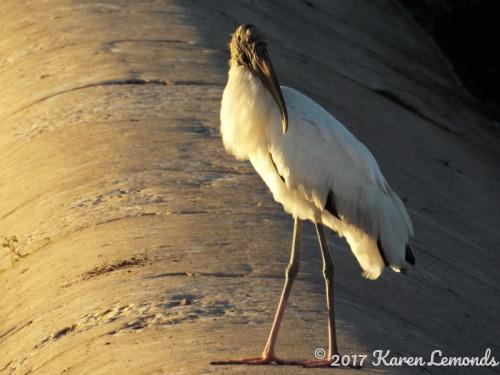 Wood Stork on Weir by Karen Lemonds
