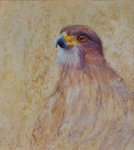 Atareta, New Zealand falcon