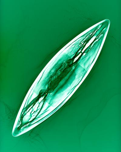 Navicula lanceolata
