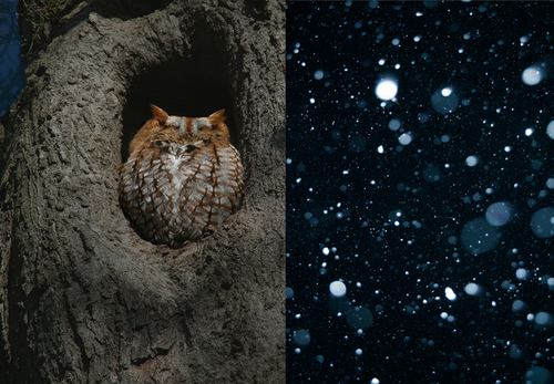 Owl in Snow