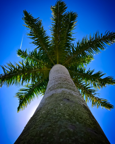 Towering Palm