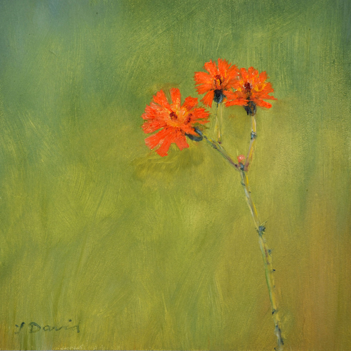 Orange Hawkweed (large view)