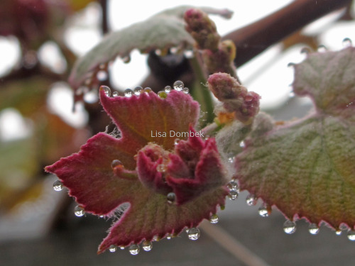 SPRING GRAPEVINE 5 by Lisa Dombek