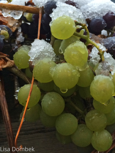 GRAPES ON ICE