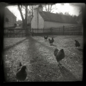 Hopewell Chickens by Peggy Hartzell (thumbnail)