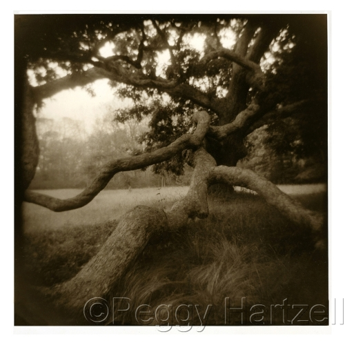 West Tisbury Oak by Peggy Hartzell