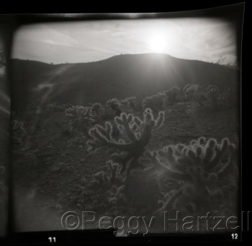"""Teddy bear"" Cactus, AZ by Peggy Hartzell (large view)"