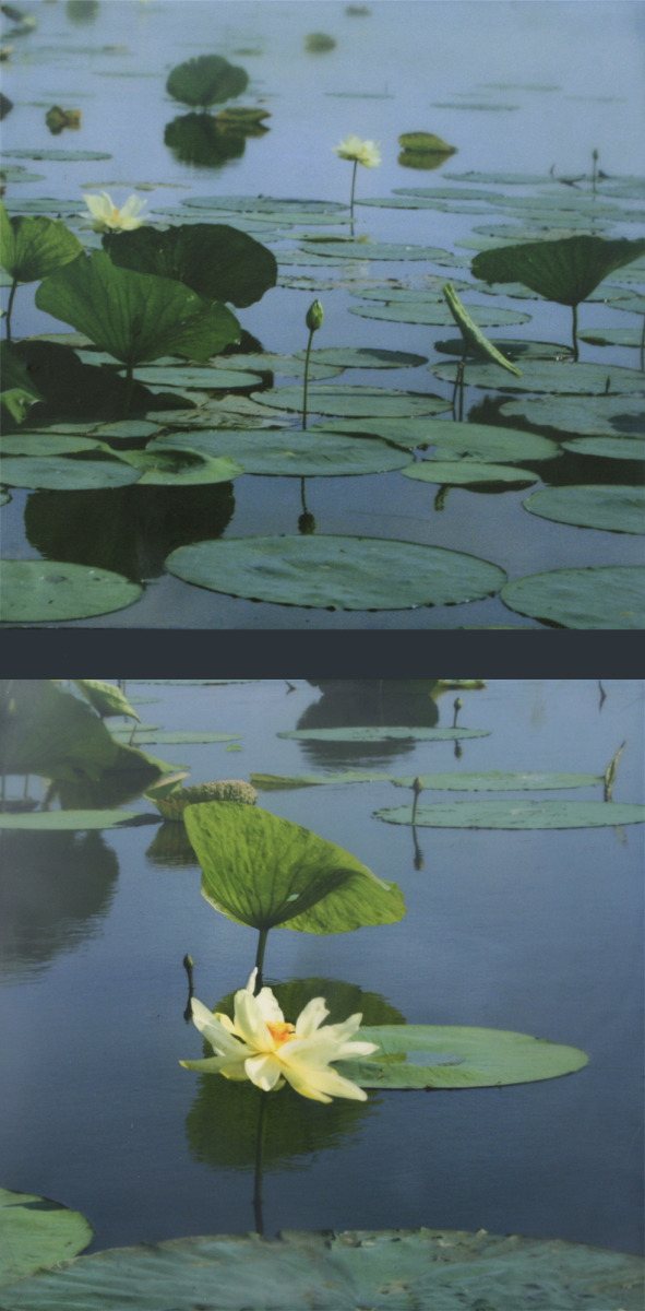 Lotus Diptych II (large view)