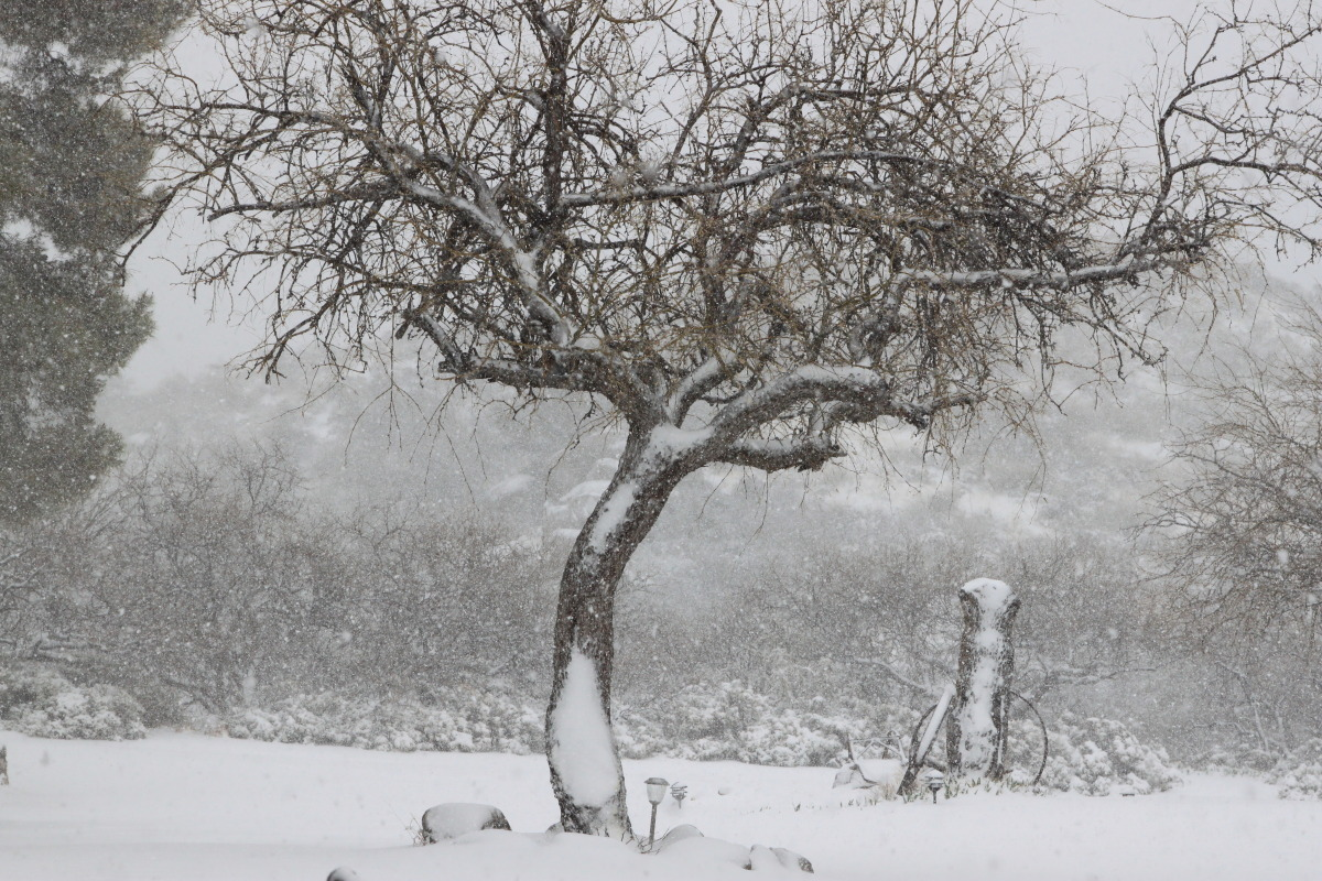 Desert Tree in Snow (large view)
