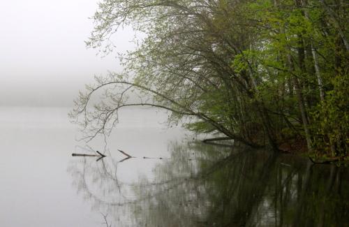 Heart Tree in Early Spring Mist