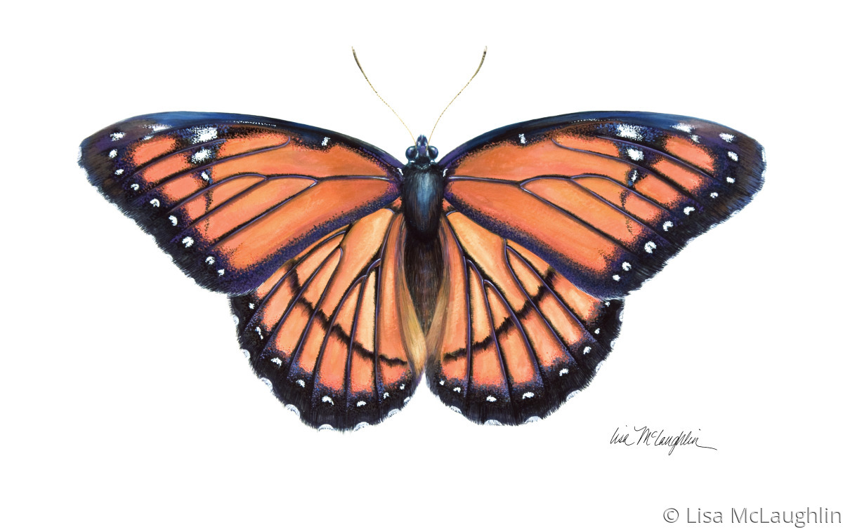 Painting Quot Viceroy Butterfly Mimics Monarch Butterfly