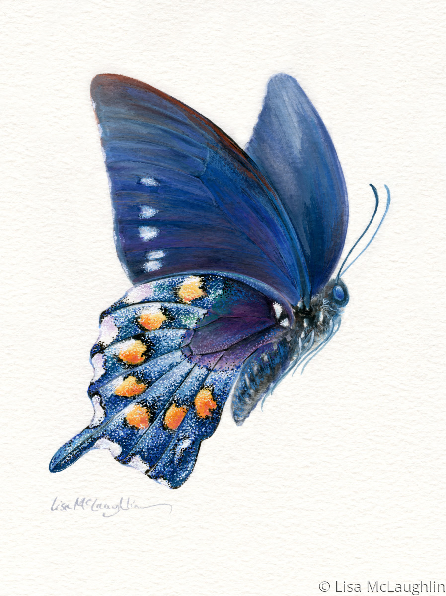 Painting Quot Pipevine Swallowtail Butterfly In Flight