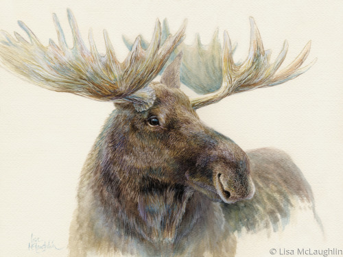 Bull Moose by Lisa McLaughlin