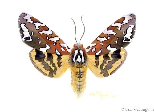 Arachnis Zuni Moth -female