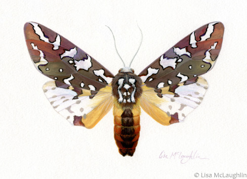 Arachnis Zuni Moth -male by Lisa McLaughlin