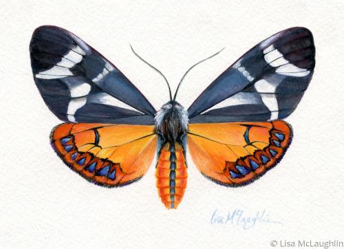 Dysschema Howardii Moth -female