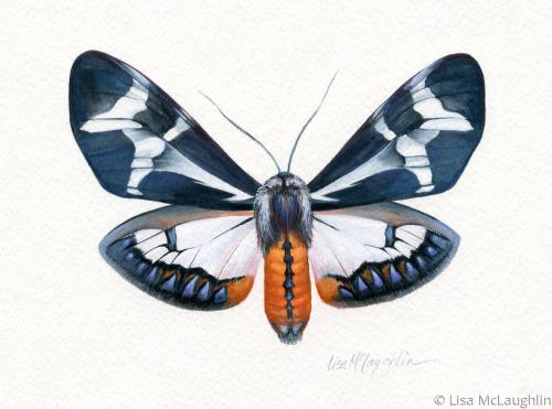 Dysschema Howardii Moth -male