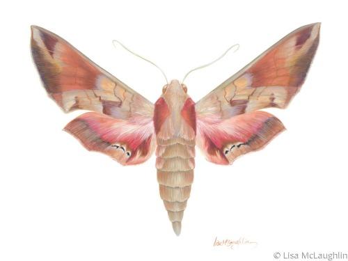 Eumorpha Achemon Moth