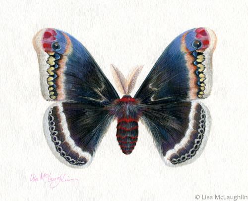 Eupackardia Calleta Moth