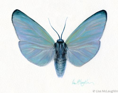 Gardinia Anopla Moth