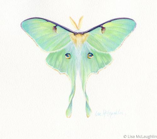 Luna Moth by Lisa McLaughlin