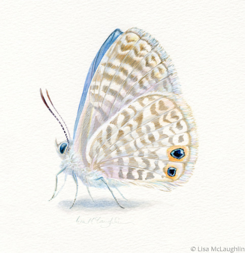 Marine Blue Butterfly perched