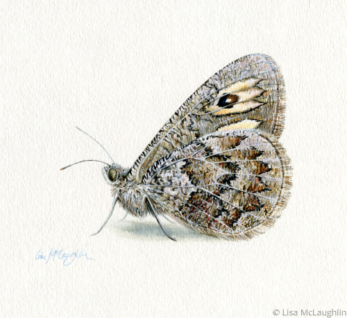 Riding's Satyr Butterfly