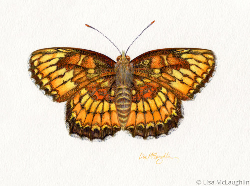 Theona Checkerspot Butterfly
