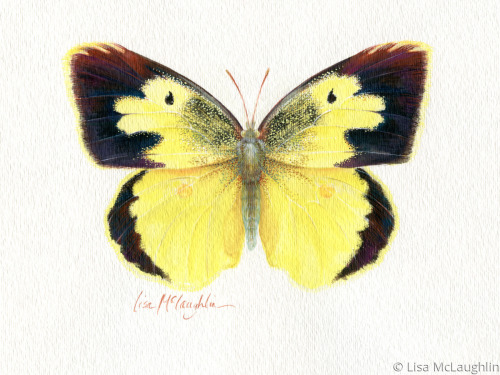 Dogface Butterfly