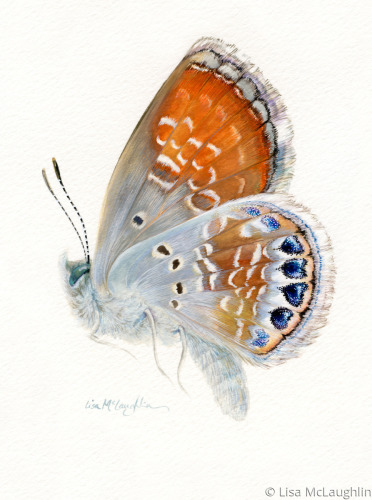 Western Pygmy Blue Butterfly in flight