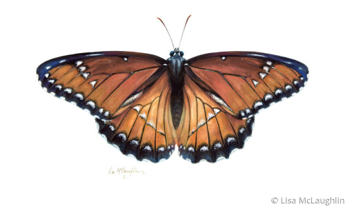 Viceroy Butterfly mimics Queen Butterfly