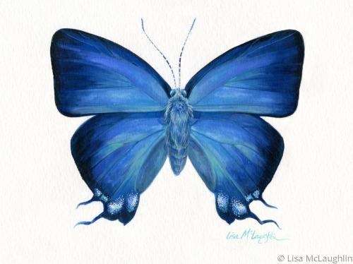 Great Purple Hairstreak Butterfly