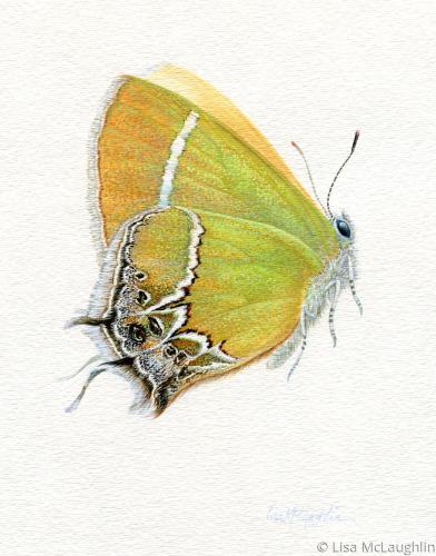 Xami Hairstreak Butterfly