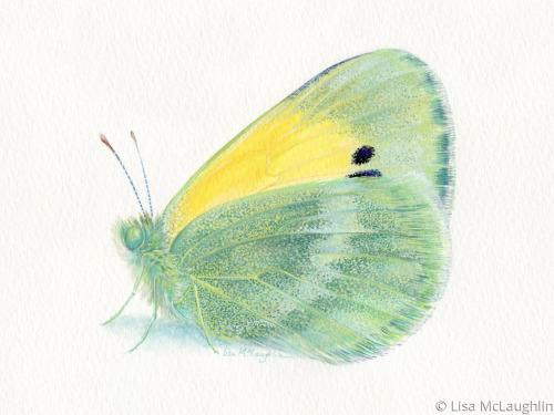Dainty Sulfur Butterfly