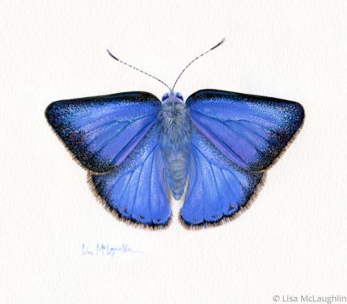 Arizona Hairstreak Butterfly