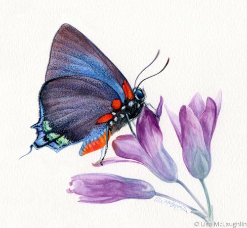 Great Purple Hairstreak Butterfly rests