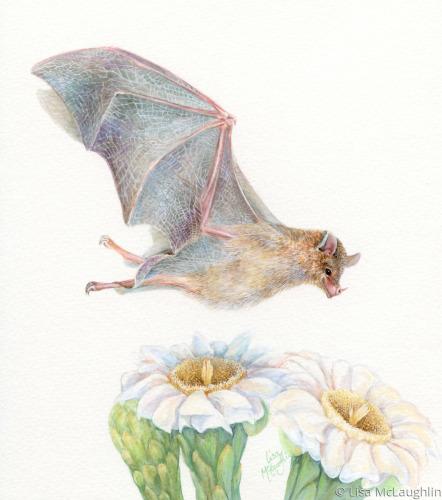 Little Brown Bat and Desert Flower