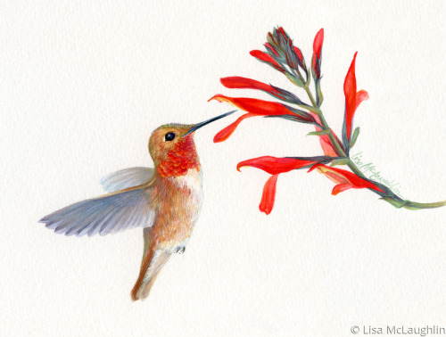 Roufus Hummingbird pollinating wildflowers