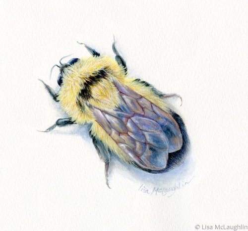 Bumblebee rests by Lisa McLaughlin