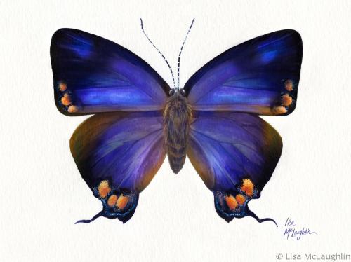 Colorado Hairstreak Butterfly