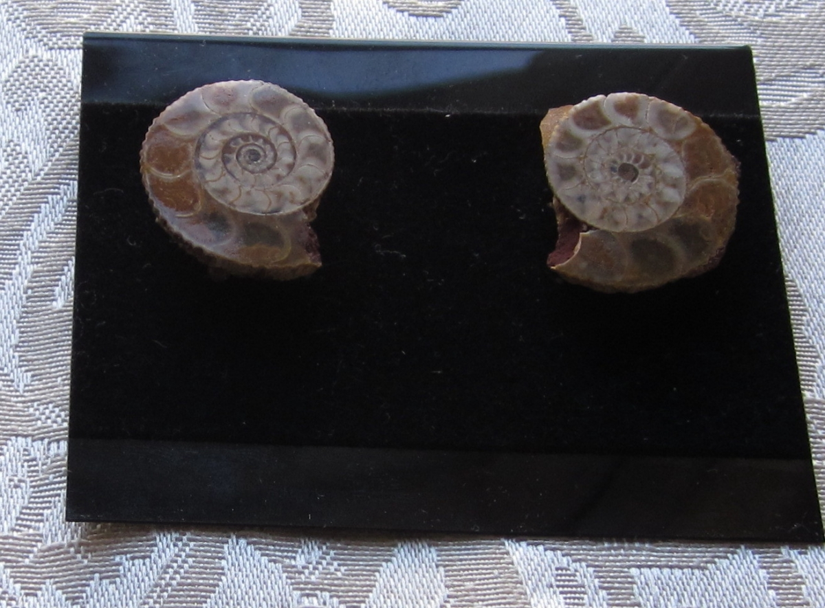 a8er ammonite earring (large view)