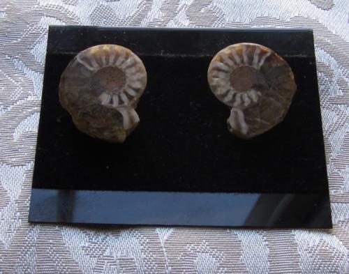 a9er ammonite earring