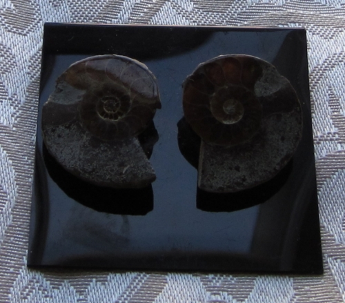 a10er ammonite earring (large view)