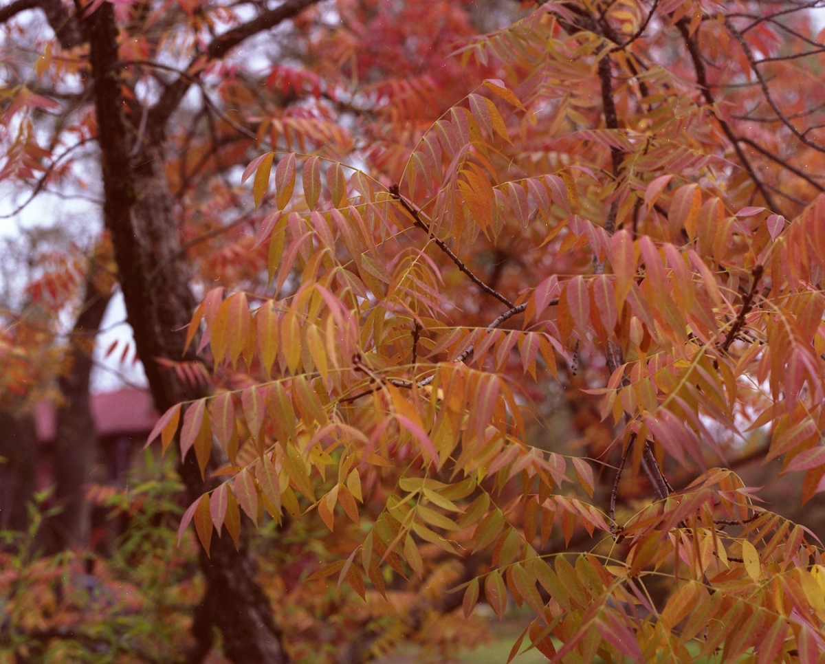 color photograph of nature, tree, red leaves (large view)