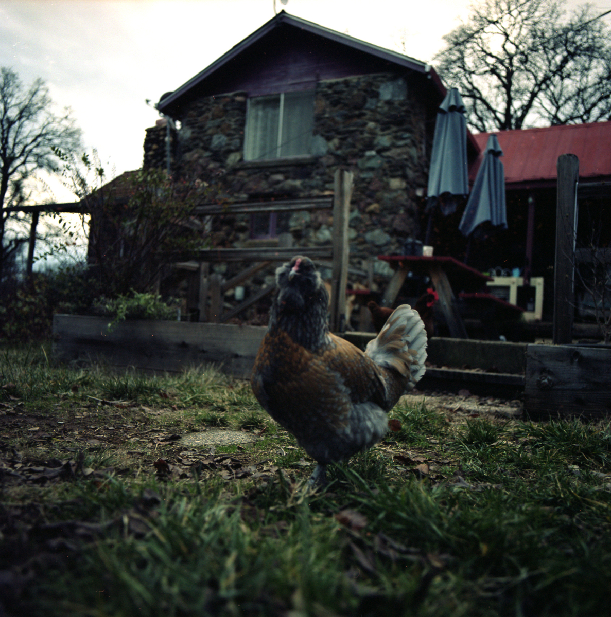 My Chicken, Sally (large view)