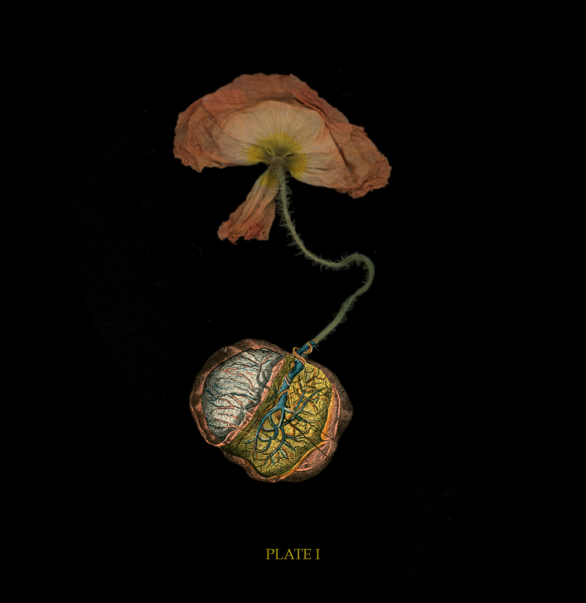 PLATE I: Placenta Poppy (large view)