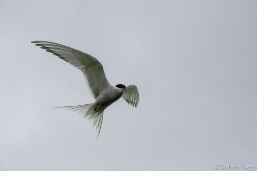 Arctic Tern by Louise Levy