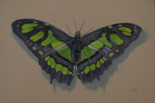 Malachite Butterfly (large view)