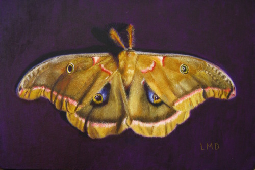 Antheraea Polyphemus, A Gift by Louise Morin Dichard