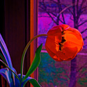 Tulip Dream at Night (thumbnail)